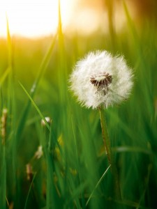 Dandelion green grass on spring meadow